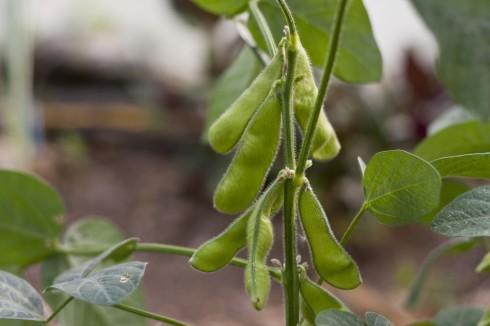 Edamame beans growing at Yamashita's farm