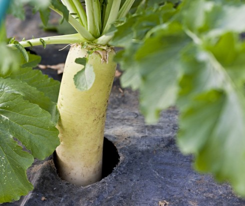 The famed vegetable: Kabu – a Japanese turnip, growing at Yamashita's farm